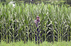 Chris Rolinson<br /> Carl Kithcart, of Kithcart Farm located in Smithfield, stands at the edge of one of his 83 acres of corn. Kithcart stands 6 foot 4 inches while some of his corn planted in late April has grown to over 10 feet. He said that the crop looks good but needs rain to keep up the pace and that it was to early to tell if the yield would be a bumper crop.