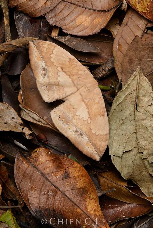 Pallid Monkey Moth (Eupterote asclepiades)