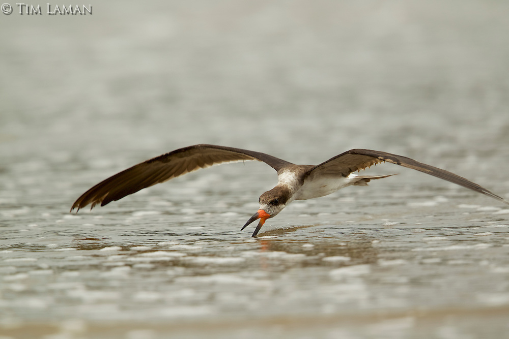 A Black Skimmer (Rynchops niger) feeding at the water's edge of the Orinoco River Delta, Venezuela.