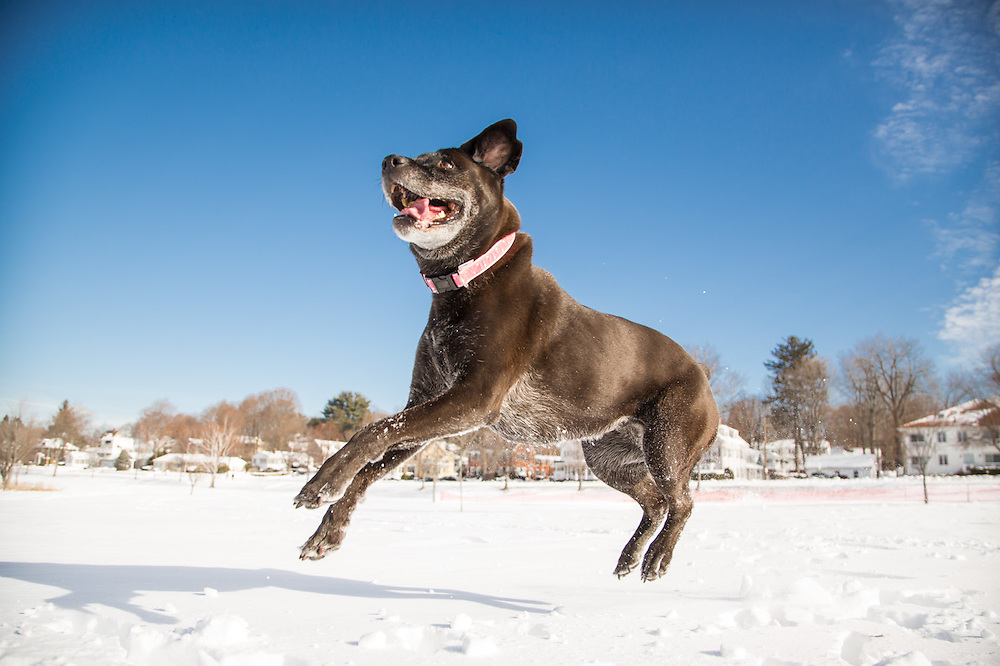 pet portrait, pet photographer, pet photography, Boston, MA, photographer, dog, jumping