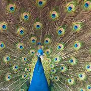 Peacock in Middleton Gardens, Charleston, South Carolina
