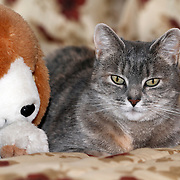 A House Cat sitting next to its friend - a stuffed Beagle Dog toy. Photo is of the Photographer's Mother's cat.