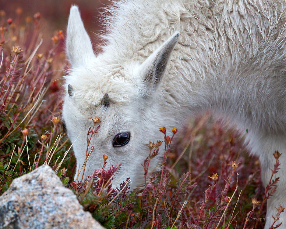 A mountain goat kid grazing on Mount Evans