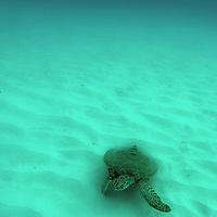 Caribbean, Barbados, Carlisle Bay. Green Sea Turtle in Carlisle Bay, Barbados.