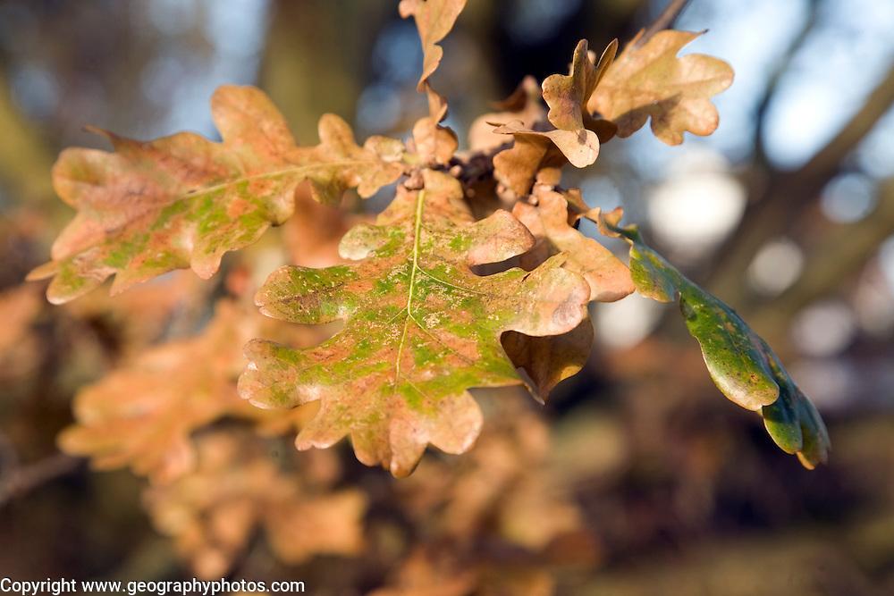 Detail of oak tree leaves in autumn turning brown