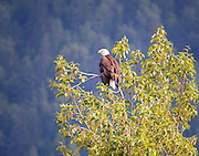 Bald Eagle in the Tree at Chilkat Preserve
