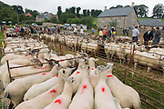 Sheep up for auction at the ancient annual Priddy Sheep Fair in Somerset, England. Kept tight in pens, the animals  have been marked with aerosol spray to identify their ownership before the sale commences in this picturesque village in the Mendip Hills. Unauthorised visitors are forbidden to enter the catle pens, avoiding the spread of epidemics like Foot and Mouth. According to tradition, Priddy Sheep Fair moved from Wells in 1348 because of the Black Death, although evidence has been found of a Fair being held at Priddy before that. There is a local legend, which says that as long as the hurdle stack shelter remains in the village, so will the Fair.