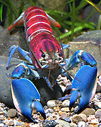 "New 'Galaxy' Crayfish Discovered In Indonesia Has A Nebula On Its Shell<br /> <br /> A German scientist recently discovered what is possibly the most beautiful crayfish in the world – Cherax pulcher. This little freshwater cousin of the shrimp and lobster, native to Indonesia, has a vividly colorful shell that looks like a cosmic nebula or a tropical sunset.<br /> This beautiful crayfish's discovery by Christian Lukhaup came with an ironic twist – the pet trade industry has actually known about and traded this species for years, but knew nothing about it other than where it can be found. Lukhaup began his search when he saw a photo of it, eventually tracking it down to Hoa Creek in the Indonesian part of New Guinea.<br /> Unfortunately, the study in which Lukhaup first described the creature also details how threatened it is by aquarium collectors. ""The continued collection of these crayfish for the trade is not a sustainable practice, and if the popularity of the species continues, a conservation management plan will have to be developed,"" he writes.<br /> ©Christian Lukhaup /Exclusivepix Media"