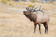 Bull Elk bugling in beautiful light during the rut