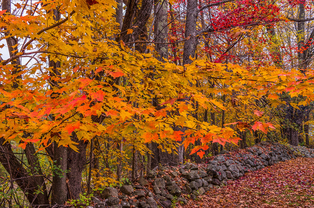 Sugar maples in fall color and stonewall, leaf-strewn ground, Bristol, NH