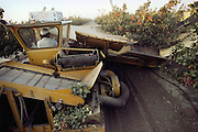 Pistachios harvested by machine.  The harvester machine passes through the pistachio orchard and shakes each tree so that the ripe pistachios fall into an apron. A conveyor at the bottom brings them up to a loading bin after they pass through a blower to remove leaves and debris. Kern County, California. USA.