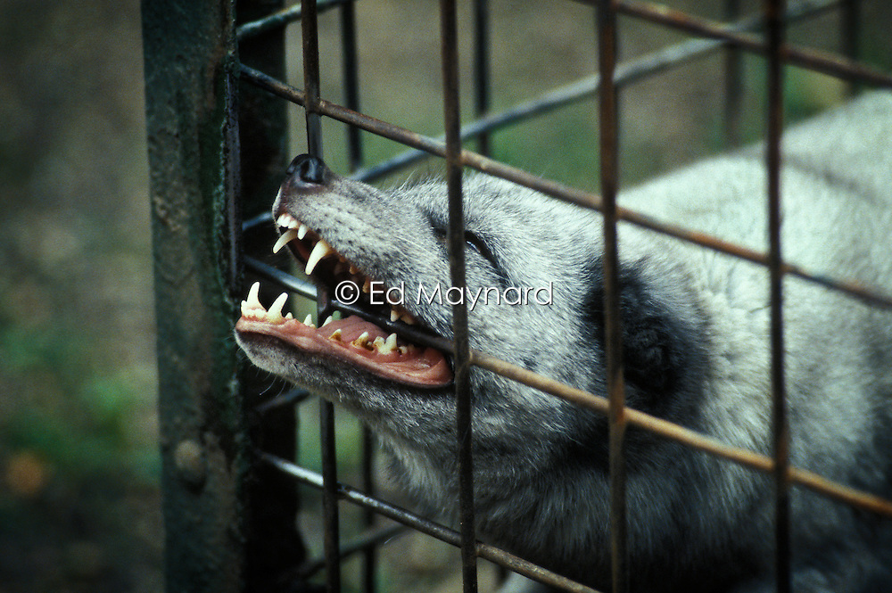 A captive arctic fox gnaws at the bars of its cage at a zoo in England, United Kingdom.