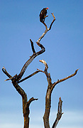 A vulture roosting, Grumeti, Tanzania, East Africa