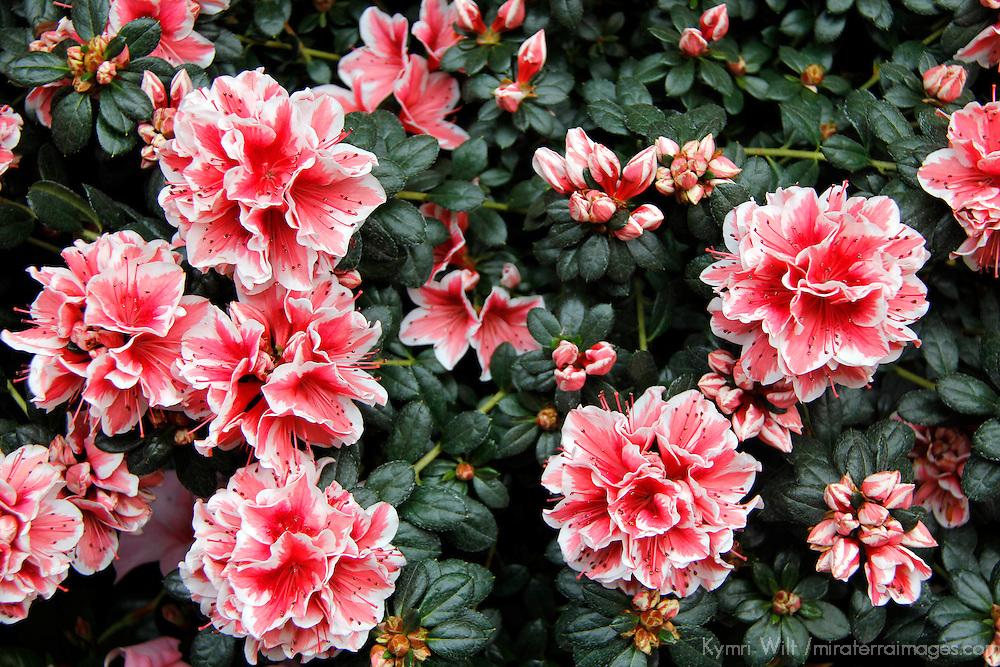Europe, France, Paris. Flowers in the Marche aux fleurs.
