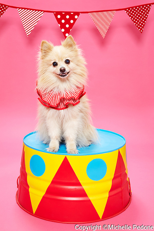 Pomeranion wearing a clown collar sitting on a circus pedestal.<br /> Photographed at the Photoville Photo Booth September 20, 2015