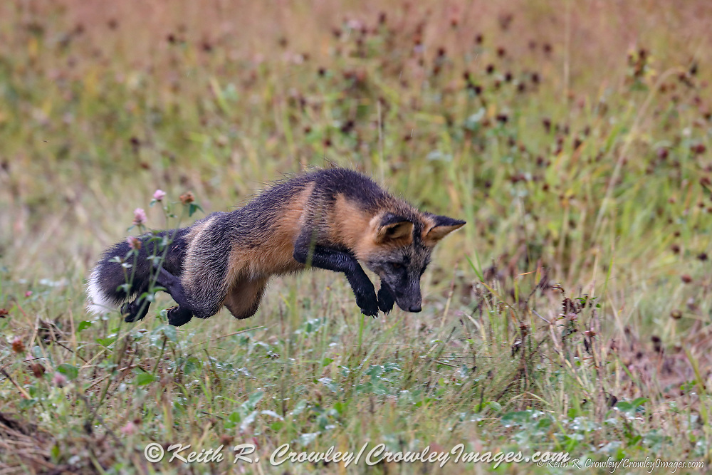 Wildlife, like the Cross fox, abound along the ALCAN Highway.