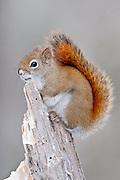 American Red Squirrel, Tamiasciurus hudsonicus, winter, Luce County, Michigan