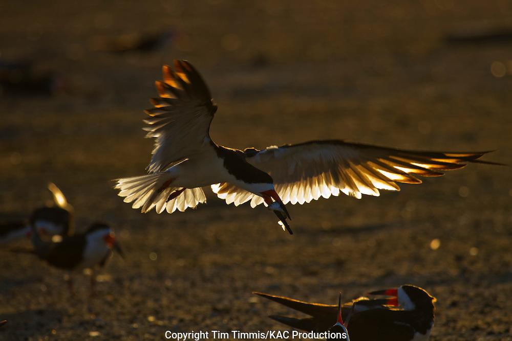 Black Skimmer, Rynchops niger, Texas City dike, Texas gulf coast, carrying fish, flying, golden light