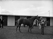 "20/09/1960<br /> 09/20/1960<br /> 20 September 1960<br /> Goffs Bloodstock Sales at Ballsbridge, Dublin. Image shows Mr. P.A. Love's ""Never Say Die"" colt that was sold for 12,200 Guineas to Vigor and Co. Bloodstock Agency."