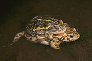 Mongolian Toad (Bufo raddei) pair mating, Eastern Steppe, Mongolia