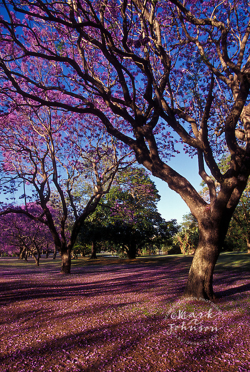 Jacaranda trees in bloom, Queensland, Australia