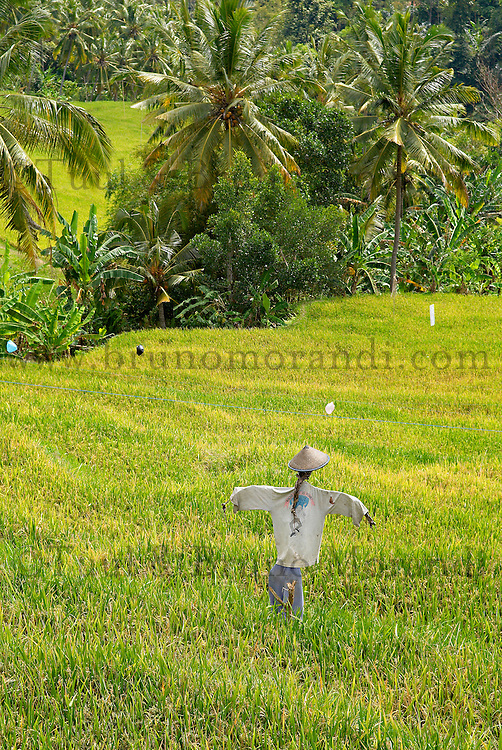 Indonesie. Bali. Rizieres pres de Munduk. // Indonesia. Bali. Ricefield around Munduk.
