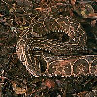 """Cobra Urutu Cruzeira, """"bothrops alternatus"""", Santa Catarina, Brasil, 00/00/2003. foto de Ze Paiva/Vista Imagens"""