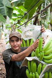 Olmer Morales. Photograph taken in Sullana, Piura in Peru, at the banana fields of CEPIBO (Central Piurana de Asociaciones de Pequeños Productores de Banano Orgánico)