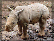 Infant Southern White Rhinoceros