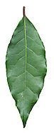 Bay (Sweet Bay) Laurus nobilis (Lauraceae) HEIGHT to 17m <br /> Moderate-sized evergreen tree with a conical crown. BARK Smooth dark-grey or almost black. BRANCHES Mostly ascending and dark grey, terminating in reddish twigs and conical dark-red buds. LEAVES To 10cm long, narrowly oval or lanceolate with wavy margins; they feel tough and leathery and have a pleasing aroma when crushed. Upper surface is glossy dark green and underside is paler; glands that release scent can be seen through a hand-lens. REPRODUCTIVE PARTS Flowers are borne below the petioles against shoot and open in creamy-yellow clusters. Fruits are small, shiny-black berries up to 1.5cm long. STATUS AND DISTRIBUTION Native of Mediterranean area, but widely planted here and naturalised in the south.
