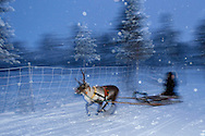 A reindeer sledding tour experience with sami reindeer herdsmen at the Reindeer Lodge in -25 degrees C, run by Nutti Sámi Siida, near the Icehotel, in Jukkasjärvi, Lapland, Laponia, Norrbotten county, Sweden, Reindeer, Rangifer tarandus