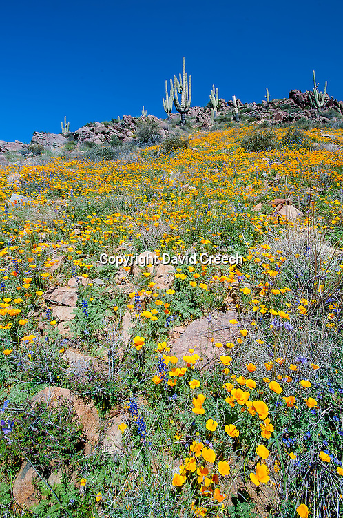 Wildflower season in the desert hills above Cave Creek, Arizona.