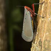 Kalidasa nigromaculata laternfly in Kaeng Krachan National Park, Thailand.