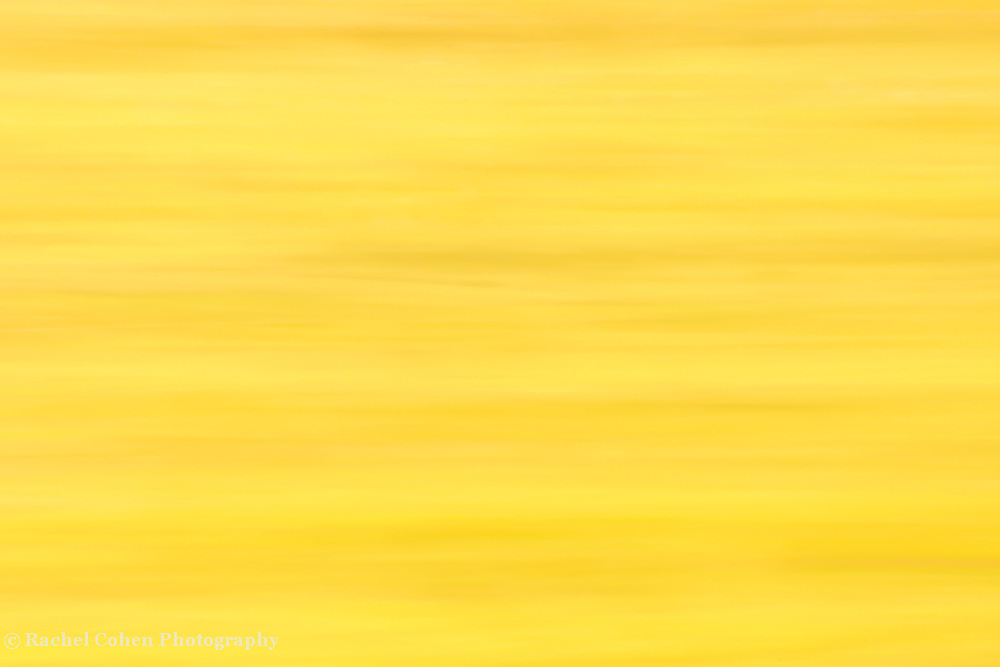 &quot;Yellow&quot;<br /> <br /> This image is exactly what is says; yellow!!<br /> Light horizontal streams of varying shades of yellow!!<br /> If you love lemons, if you love yellow, if you think yellow is a happy color, then this image has a place on your wall!!<br /> <br /> Nature Abstracts by Rachel Cohen