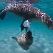 Two juvenile Australian sea lions playing in shallow water, with one blowing bubbles as part of the social interaction between them