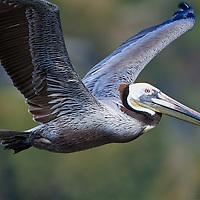 Closeup of a Brown Pelican in flight