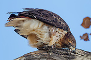 Red-tailed hawk strops its beak on a tree branch to remove prey feathers and meat scraps, © 2011 David A. Ponton