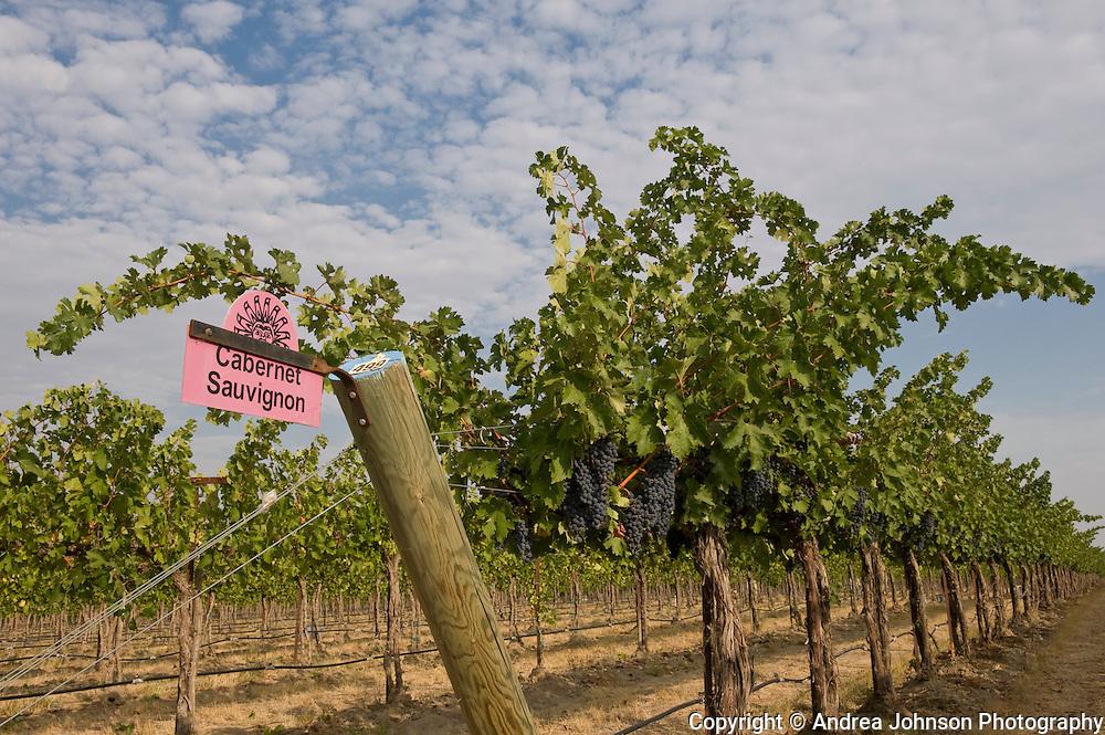 Cabernet Savignon grapes, Klipsun Vineyards, Red Mountain AVA, Yakima Valley wine region, Eastern Washington, USA