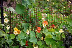 Low metal rabbit proof fencing softened by Nasturtium majus 'Milkmaid' and another self sown nasturtium