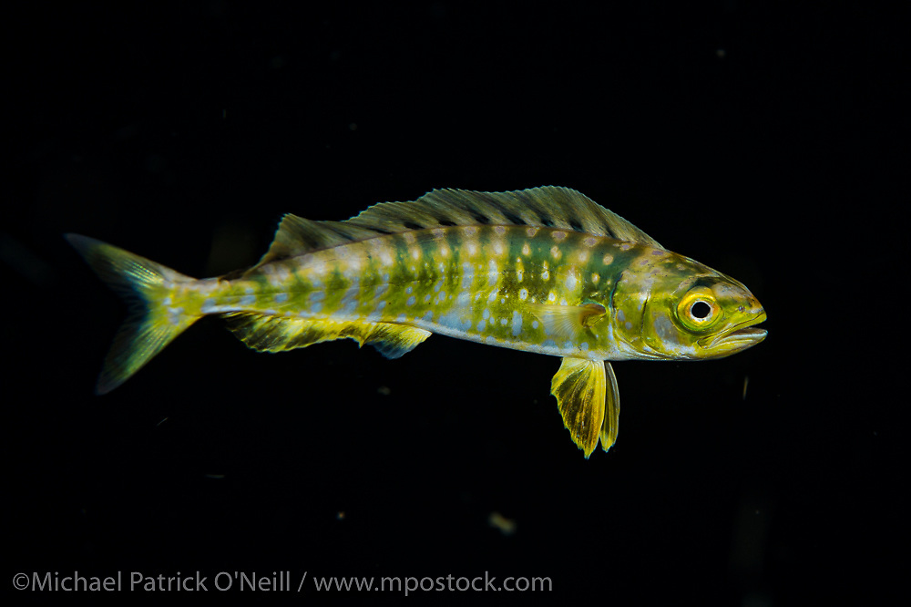 A juvenile Mahi or Dolphinfish, Coryphaena hippurus, drifts in the Gulf Stream current offshore Palm Beach, Florida, United States during a blackwater dive late in the evening.