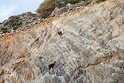 "Two Cretan goats climbing a steep wall at the Lybian Sea Coast in Palaiochora which is a small town in Chania regional unit on the island of Crete, Greece. The Kri-kri (also called the ""Cretan goat"", ""Cretan Ibex,"" or ""Agrimi"") was previously considered a subspecies of wild goat but has recently been identified as a feral variety of the domestic goat. The Kri-kri is now found only on the island of Crete, Greece and three small islands just offshore."