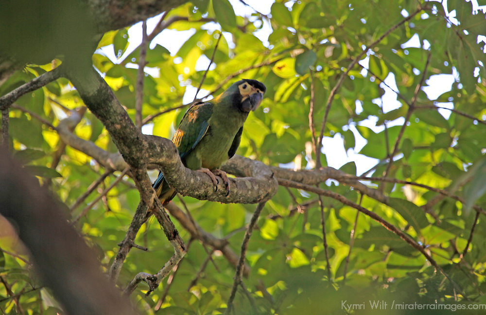 South America, Brazil, Pantanal.  A Godlen-Collared Macaw in the Pantanal.