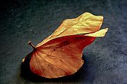 Autumn colours brown leaf