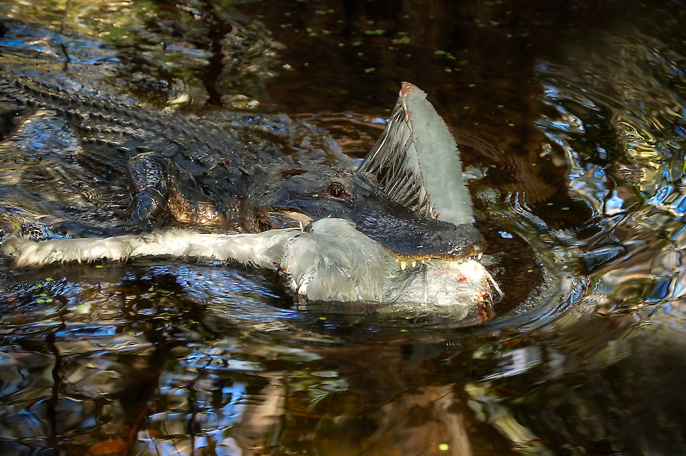 A young adult alligator with a freshly caught great blue heron. An incredible sight to see in person!