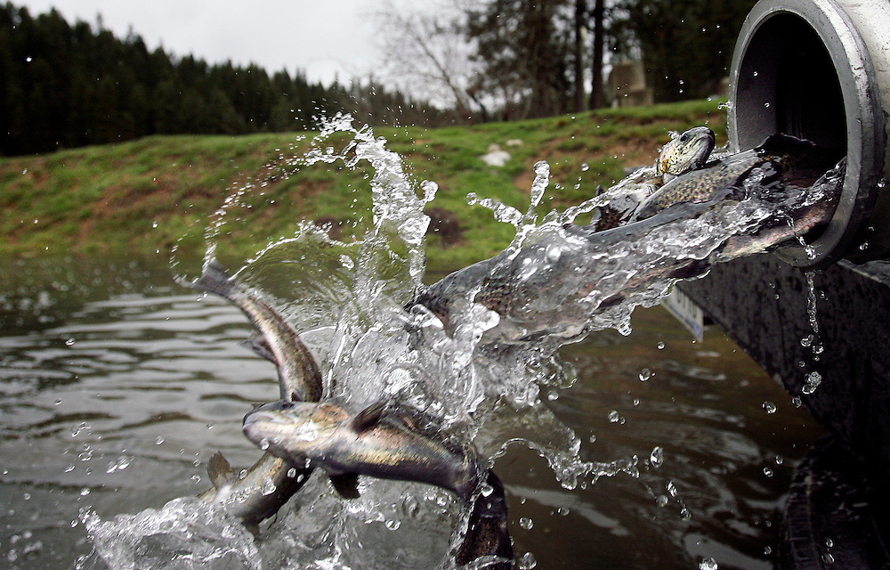 JEROME A. POLLOS/Press..Hatchery raised rainbow trout are released Tuesday into Fernan Lake by Idaho Fish and Game. The delivery of 3,000 is the first of 8,000 to be released into the lake this month.