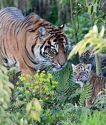 © Licensed to London News Pictures. 26/03/2014. London, UK. Mum Melati checks on the cubs as they explore the outdoor paddock.  Three of the world's rarest tiger cubs have made their public debut just in time for Mothers' Day, exploring the outdoor paddock of their home at ZSL London Zoo's Tiger Territory. The seven-week-old cubs joined mum, Melati, when she ventured outside to stretch her legs on Wednesday afternoon, and appeared delighted with their new play area. The cubs, who won't be named until keepers know if they are boys or girls, have been spotted playing in their custom-built cub conservatory area, but this is the first time that they've ventured outside into the main paddock. Photo credit : ZSL/LNP