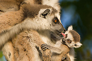 Ring-tailed Lemur<br /> Lemur catta<br /> Female grooming 1-2 week baby of other female<br /> Berenty Private Reserve, Madagascar