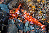 A pair of prawns, Seraya, Bali, Indonesia. Seraya is located on Bali's NE coast and has become very popular with divers and photographers searching for unusual species.  The signature site, 'Seraya Secrets' has a barren sand floor with small patches of sponge and other encrusting life, and rocks in the shallows. Bali is a very popular holiday destination for divers and offers a wide variety of different types of diving, from reefs and wrecks to mucks sites such as Puri Jati and Gilimanuk.