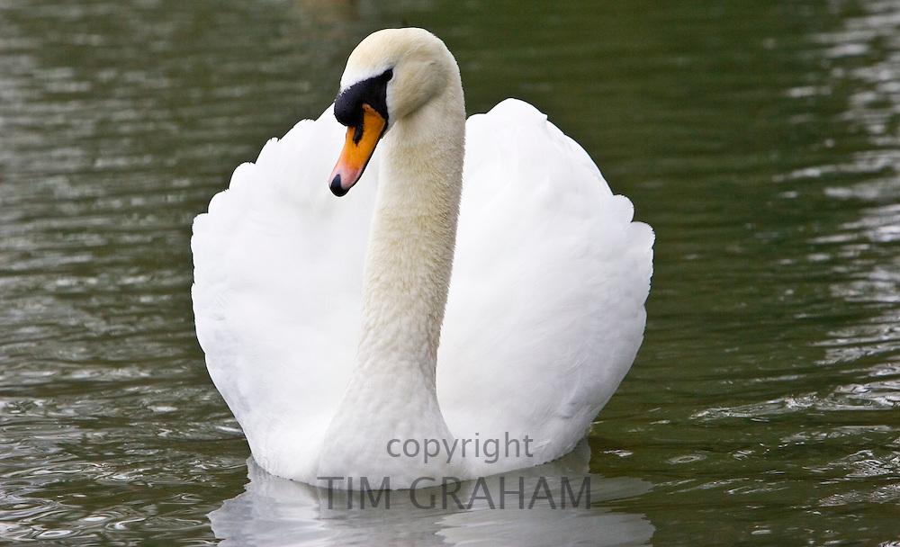 Mute swan River Windrush,  Burford, UK. Feral birds may be at risk from Avian Flu bird flu virus
