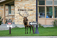 Rocky Mountain Elk arrive on the streets and lawns of Mammoth Hot Springs, Wyoming each fall and bulls aggressively pursue people, vehicles, and other elk while trying to mate with as many cows as possible.
